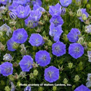 Campanula (Bell Flower)