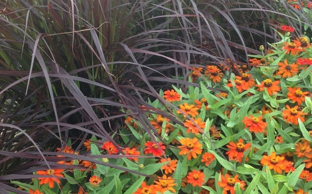 Zinnias_and_grass