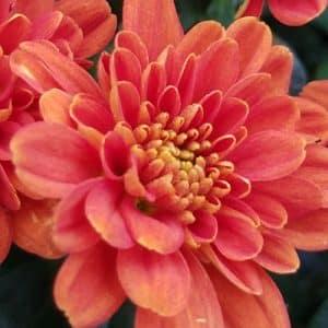 Chrysanthemum (Garden Mum)
