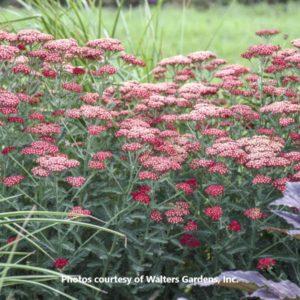 Achillea Sassy Summer Sangria-Walters Gardens