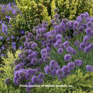 Allium (Ornamental Onion)