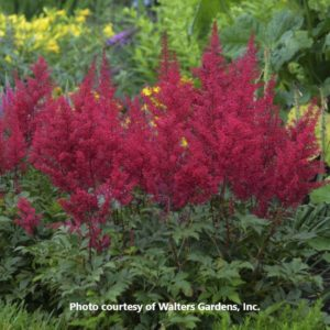 Astilbe 'Red Sentinel'-Walters Gardens
