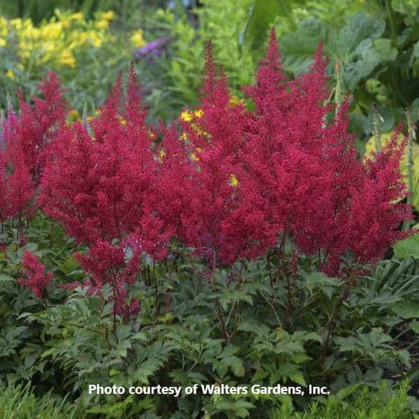 Astilbe 'Red Sentinel'-Walters Gardens