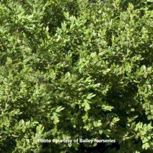 Boxwood (Buxus)