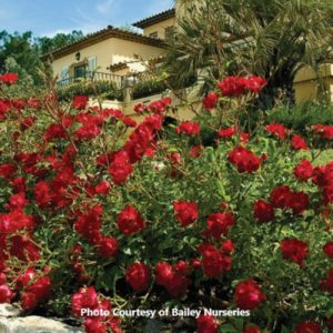 Hardy Ground Cover Rose