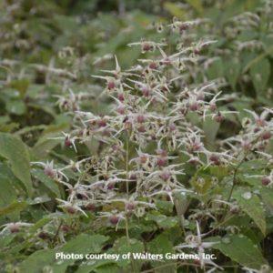 Epimedium (Barrenwort)
