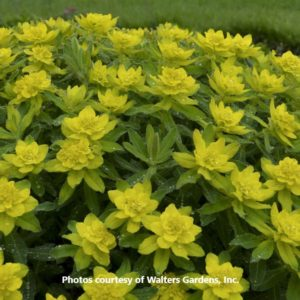Euphorbia (Cushion Spurge)
