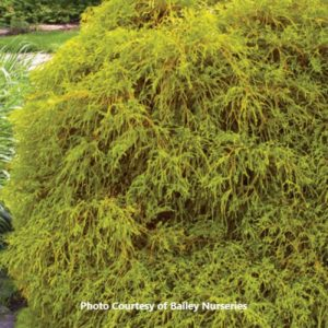 Chamaecyparis (False Cypress)