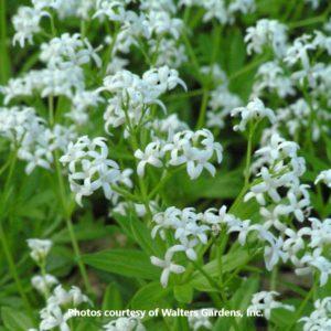 Galium (Sweet Woodruff)