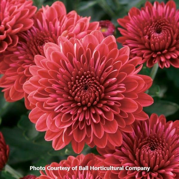 Garden_Mum_Cheryl_Jolly_Red_Ball