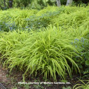 Hakonechloa (Hakone Grass)