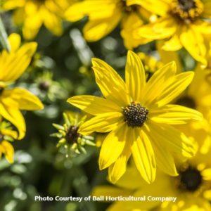 Helianthus (Willowleaf Sunflower)