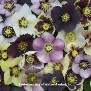 Helleborous (Lenten Rose)