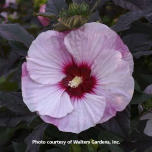 Hibiscus (Rose Mallow)