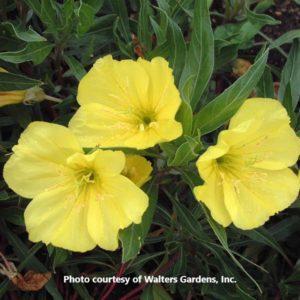 Oenothera (Evening Primrose)