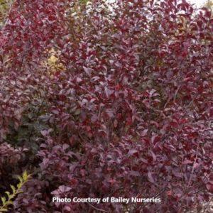Purple Sand Cherry (Prunus)