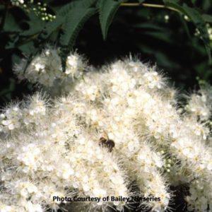 Ash Leaf Spirea (Sorbaria)