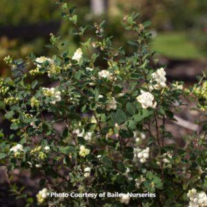 Coralberry Snowberry (Symphoricarpos)