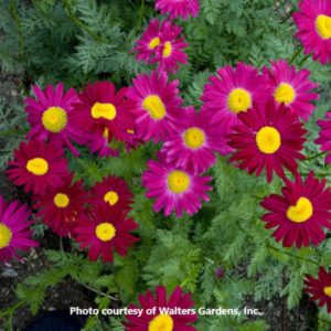 Tanacetum (Painted Daisy)