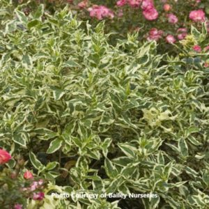 Dwarf Honeysuckle Bush (Diervilla)