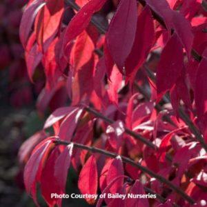 Burning Bush (Euonymus)