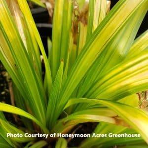Carex (Broad-Leaved Sedge Grass)