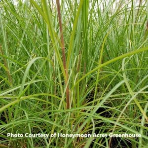 Miscanthus (Ornamental Grass)