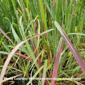 Panicum (Switch Grass)