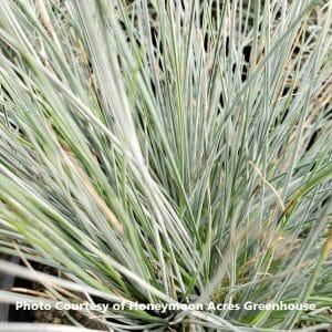 Festuca (Blue Fescue Grass)