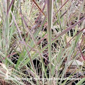 Schizachyrium (Little Bluestem Grass)