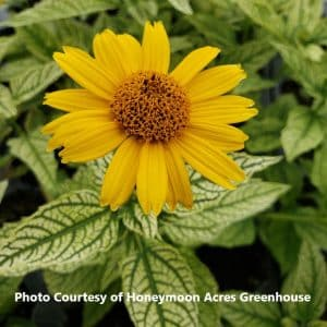 Heliopsis (False Sunflower)