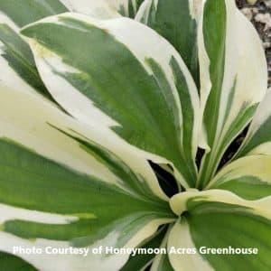 Hosta (Plantain Lily)