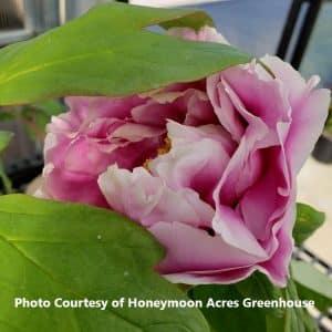 Paeonia (Garden Peony)