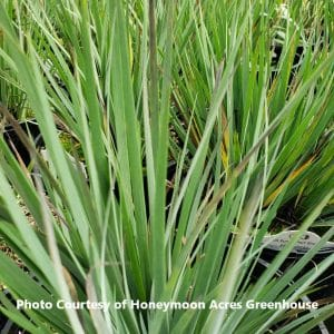 Sisyrinchium (Blue-Eyed Grass)