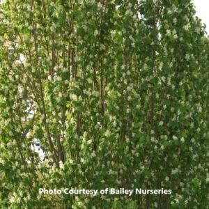 Serviceberry (Amelancheir)