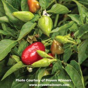 Ornamental Pepper
