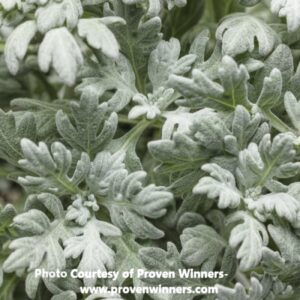 Artemisia