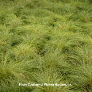 Sporobolus (Prairie Dropseed Grass)